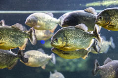 比拉鱼鱼的 库存图片