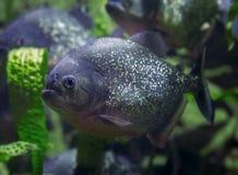 比拉鱼,掠食性鱼 危险鱼 免版税图库摄影