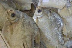 比拉鱼 免版税库存照片
