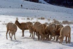 比格霍恩山在杰克逊Hole怀俄明之外的绵羊牧群 免版税库存照片