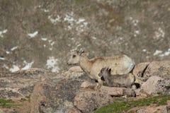 比格霍恩母羊和羊羔 图库摄影