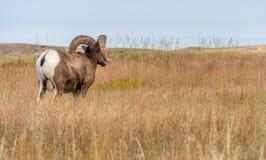 比格霍恩鹿在南绵羊的荒地Praries 图库摄影