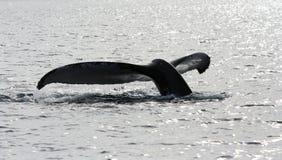 比目鱼尾标鲸鱼 免版税库存照片
