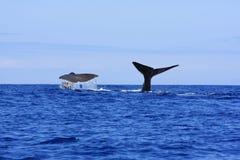 比目鱼抹香鲸 库存照片