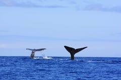 比目鱼抹香鲸 免版税库存照片
