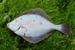 比目鱼Platichthys flesus 图库摄影