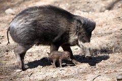 比萨扬人有疣的猪, SU cebifrons negrinus,与崽的母猪 免版税库存照片