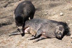 比萨扬人有疣的猪, SU cebifrons negrinus,与崽的母猪 库存照片