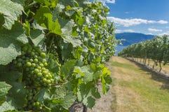 黑比诺葡萄酒葡萄在葡萄园Okanagan不列颠哥伦比亚省加拿大里 免版税图库摄影
