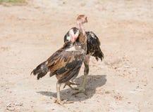比赛公鸡战斗 免版税图库摄影