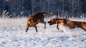 比赛Rhodesian Ridgeback在雪冷淡的天 免版税库存照片