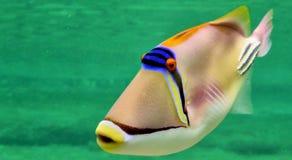 毕加索鱼在红海 免版税库存照片