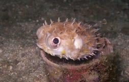 毛刺鱼,在水下的杯子的河豚 图库摄影
