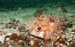 毛刺鱼,河豚 库存图片