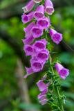 毛地黄属植物开花 库存图片