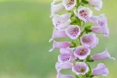毛地黄属植物或洋地黄在鲜绿色的淡色背景的Purpurea美丽的特写镜头词根  库存图片