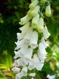 毛地黄属植物白色 免版税库存照片