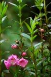 毛地黄属植物粉红色 图库摄影