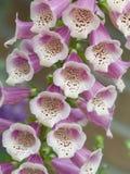 毛地黄属植物 库存图片