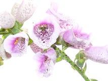 毛地黄属植物 图库摄影