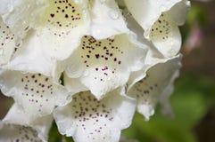 毛地黄属植物在雨中 库存照片