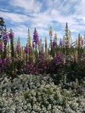 毛地黄属植物蓝天阿拉斯加 库存图片