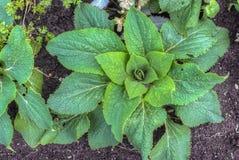 毛地黄属植物洋地黄植物 库存图片