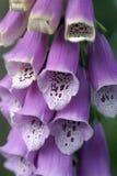 毛地黄属植物 免版税图库摄影
