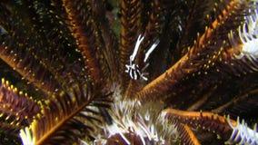 毛头星蹲坐龙虾典雅的矮小龙虾,在毛头星王侯Ampat的crinoid矮小龙虾Allogalathea elegans 影视素材