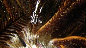 毛头星蹲坐龙虾典雅的矮小龙虾,在毛头星王侯Ampat的crinoid矮小龙虾Allogalathea elegans 股票录像