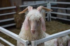 毛海织物安哥拉猫山羊 库存照片
