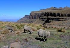 毛海织物绵羊在莱索托,非洲 免版税库存图片