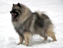毛狮狗雪身分 库存照片