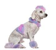 毛皮修饰的莫霍克族粉红色长卷毛狗&# 库存照片
