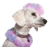 毛皮修饰的莫霍克族粉红色长卷毛狗&# 免版税库存照片
