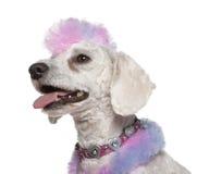 毛皮修饰的莫霍克族粉红色长卷毛狗&# 库存图片