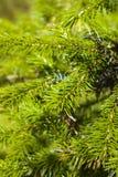 毛皮多刺的结构树 免版税库存照片