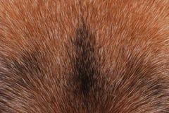 毛皮德国牧羊犬狗特写镜头。纹理。 免版税图库摄影