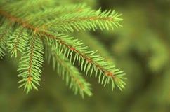 毛皮树分支 图库摄影