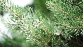 毛皮树或杉木的绿色多刺的分支 好的冷杉分支 关闭 明亮的常青新杉树绿色 免版税图库摄影