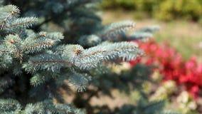 毛皮树或杉木的绿色多刺的分支 Beautigul在庭院里vgreen毛皮树在夏天 圣诞节我的投资组合结构树向量版本 工厂 图库摄影