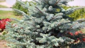 毛皮树或杉木的绿色多刺的分支 Beautigul在庭院里vgreen毛皮树在夏天 圣诞节我的投资组合结构树向量版本 工厂 免版税图库摄影