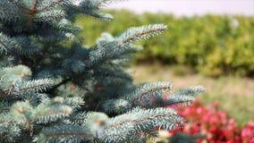 毛皮树或杉木的绿色多刺的分支 Beautigul在庭院里vgreen毛皮树在夏天 圣诞节我的投资组合结构树向量版本 工厂 免版税库存图片