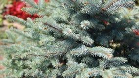 毛皮树或杉木的绿色多刺的分支 Beautigul在庭院里vgreen毛皮树在夏天 圣诞节我的投资组合结构树向量版本 工厂 库存图片