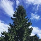 毛皮树 库存图片