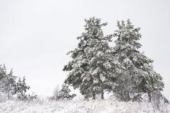 毛皮生长横向结构树冬天 免版税库存照片