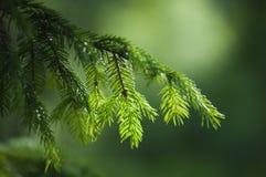 毛皮结构树的分行 免版税图库摄影