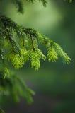 毛皮结构树的分行 免版税库存图片
