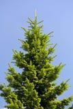 毛皮结构树 免版税库存图片