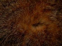 毛皮野生动物关闭纹理  免版税库存图片